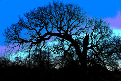 A Survivor (Jeff Clow) Tags: color tree silhouette ancient bravo searchthebest explore liveoak gnarly dfw solarized survivor liveoaktree outstandingshots abigfave photoshopelements50 impressedbeauty