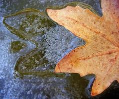 winter! (Alieh) Tags: winter ice leaf pond iran persia esfahan isfahan aliehs alieh