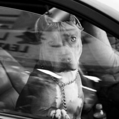 dog in a car ( patric shaw) Tags: bw dog chien  canine pitbull 5d 5bestdogs shaw 2007 patric patricshaw patricshaw2007