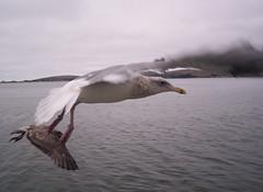 Flying (ireannach Sil) Tags: california two blur bird water bay coast fly waves cloudy seagull gull gray rainy shore land bodega upclose nozoom thetidesinn