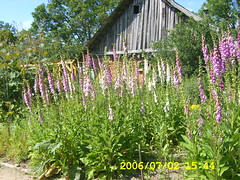 Digitalis purpurea (Purple foxglove) and old farm building - by Ruta & Zinas