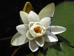 BL596 Lilly and Dragonfly (listentoreason) Tags: lake plant flower nature water animal closeup geotagged nationalpark unitedstates hiking events maine scenic favorites places acadia activities invertebrate score40