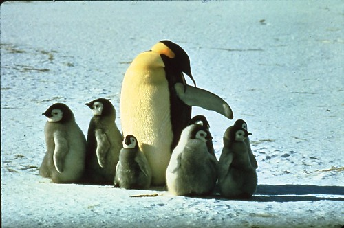 Emperor Penguin with chicks 1