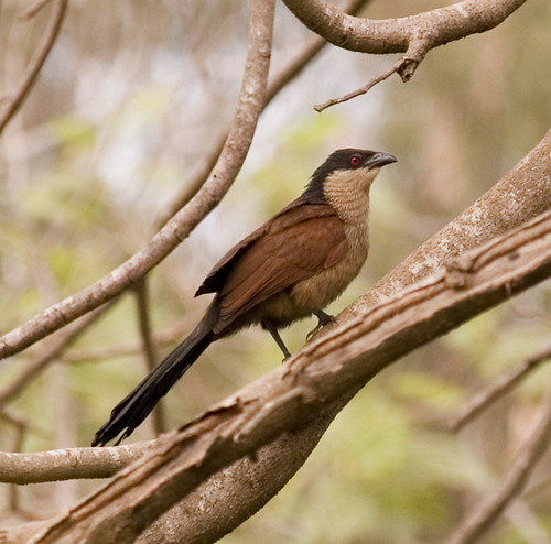Senegal Coucal (Centropus senegalensis) by tj.haslam.
