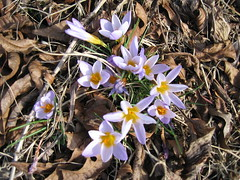 Crocuses in January