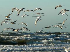 A flock of seagulls (Yolande...) Tags: sea seagulls holland beach birds strand vogels zee explore meeuwen ijmuiden