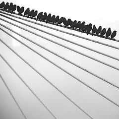 Starlings in Fog