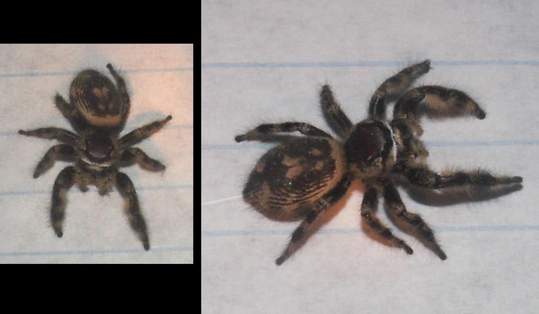 Phidippus otiosus, female