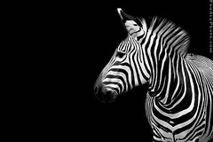 zebra in The Dark Side (A.alFoudry) Tags: world bw white black look canon dark blackwhite zebra 5d canon5d kuwait thebest natures q8 abdullah  kwt   kuw xnuzha alfoudry  abdullahalfoudry impressedbeauty naturesthebest naturesthebestinvitedphotosonly lovenatures kuwaitvoluntaryworkcenter