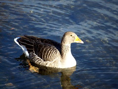 Greylag Goose on Canada Water