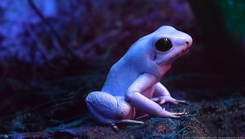 flickr frog