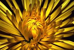 Dandelion Ablaze - by MrClean1982