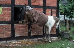 s7-1811 (Lothar Lenz) Tags: horse caballo cheval berber cavalo pferd hest equus paard copulation hst decken hengst hestur stute kopulation fortpflanzung konj hobu zirgs zucht lotharlenz rossig auskeilen trchtig deckakt decksprung kopulieren trchtigkeit