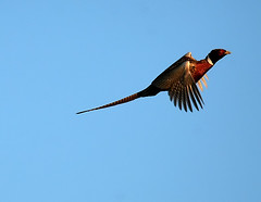 ...Cock Rooster Inflight... (Random Images from The Heartland) Tags: chris game bird birds southdakota pheasant aves bailey rooster chrisbailey bail56 randomimagesfromtheheartland uplandgame chrisbaileyimages