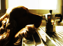Coffee Break (*MSM*) Tags: sardegna desktop wallpaper italy dog cane puppy photography photo flickr italia ray sardinia foto image best download cocker cockerspaniel sardinien msm allrightsreserved cucciolo alghero methane sfondi googlecom immagini alguer abigfave massimilianopeana mailmeatmasspeanayahooit cockerspanielinglese sfidefotoamatoriwinner