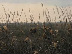 How Now, Brown Cow #2 (The Sky) (kahala) Tags: cow bikes arles vache vélos camargue balade arlesbykahala