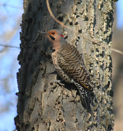 common flicker male 02