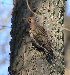 northern flicker male 02 (Mike @ Iowa Voice) Tags: digital canon lens 350d rebel xt sigma iowa common northern davenport 70300mm flicker