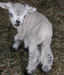 Bony lamb