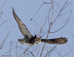 Great Horned Owl by Jim Sullivan (jb.sullivan) Tags: county mine great indiana jim owl universal sullivan vermillion horned ias blueribbonwinner jimsullivan