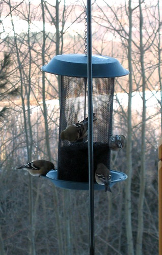 Goldfinches and Thistle seed