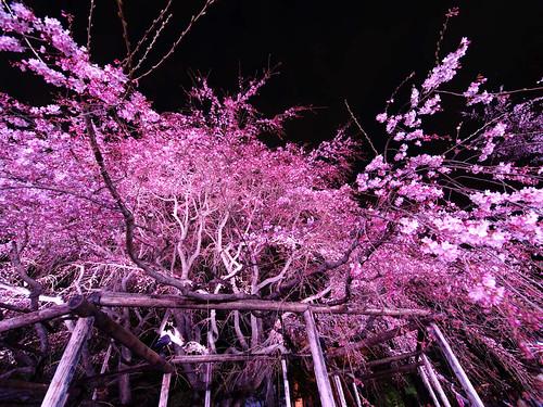 六義園しだれ桜 3