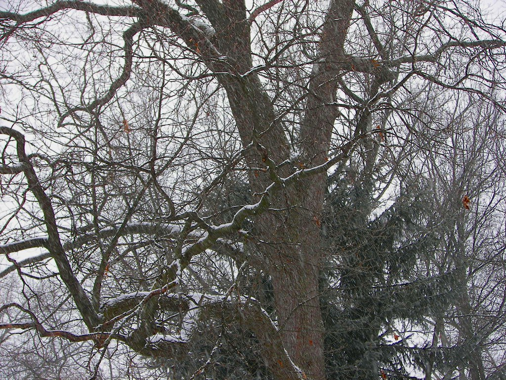 Snow on trees in Toledo, Ohio