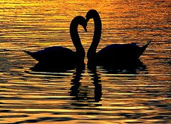 HAPPY VALENTINES DAY (algo) Tags: water topv2222 photography gold dawn interestingness interesting topf50 topv555 bravo searchthebest heart topv1111 topv999 topv222 topf300 explore topv5555 swans topv777 topv9999 topv11111 tring topf100 topf200 91004 schwne topv7777 topf400 abw topf500 wilstonereservoir topv22222 splendiferous magicdonkey instantfave 7217 explore6 outstandingshots specnature specanimal abigfave explore170 anawesomeshot colorphotoaward impressedbeauty 200750plusfaves superbmasterpiece firsttheearth goldenphotographer swanheart theunforgettablepictures alemdagqualityonlyclub tringresevoirs