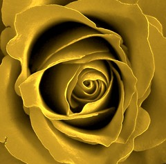 ... golden rose ... (Mieke Vos Photographics) Tags: flower netherlands dutch rose colored naturesfinest blueribbonwinner flickrgold aplusphoto superbmasterpiece ithinkthisisart