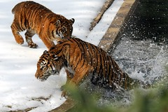 One of the cubs pushed Soyono in the water! (Nikographer [Jon]) Tags: winter snow wet water animal animals swim zoo washingtondc smithsonian dc washington nikon play nationalzoo push slip soy d200 february feb fonz washdc 2007 soyono blueribbonwinner natlzoo nikond200 maharani nikographer specanimal animalpals abigfave usnationalzoo impressedbeauty 20070218d20061681 nikographerjon