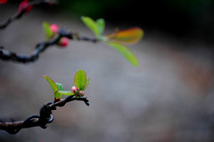 budding bonsai