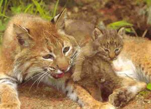 bobcatsbaby