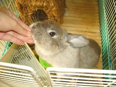 Don't munch on my fingers! (jade_c) Tags: pet rabbit bunny animal mammal singapore opal  hollandlop andora  lagomorph opalhollandlop