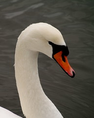 White Beauty (Kirsten M Lentoft) Tags: topc25 topv111 closeup neck denmark swan head naturesfinest animalkingdomelite momse2600 superbmasterpiece kirstenmlentoft