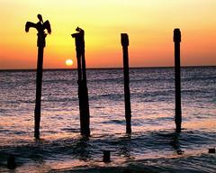 Pelican Sunset (Musical Mint) Tags: travel sunset summer vacation sun holiday beach pelicans birds island paradise view dusk carribean pelican aruba posts helluva musicalmint