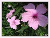 Ruellia brittoniana 'Bonita' (Dwarf Pink Ruellia)
