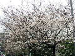 A well blossomed tree