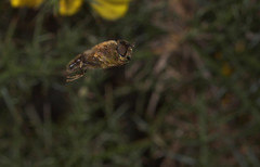 """hovering dronefly (eristalis tenax) • <a style=""""font-size:0.8em;"""" href=""""http://www.flickr.com/photos/57024565@N00/420347688/"""" target=""""_blank"""">View on Flickr</a>"""