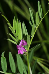 548756656 Common_Vetch 2007-06-13_20:05:11 Cothill