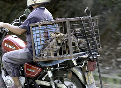 Puppy Delivery Service (cowyeow) Tags: dog dogs puppy puppies dogmeat cruel china meat chinesefood funny funnychina guangdong market selling cage motorcycle travel street asia asian chinese liannan liannanyao yao village town cute composition urban sad 连南