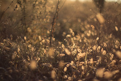 Angel (benarseguet) Tags: canon eos eos70d pentax asahi 50mmf14 50mm dslr bokeh flou wild nature golden morning sunshine country toulouse france light lightroom amateur amazing nicepicture bellephoto composition wow soe autumn