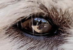 I spy with my little eye... (dmunro100) Tags: dog selfie me westhighlandterrier paxo macromondays itsalive eye macro closeup reflection canon eos 80d canonf100mmf28lmacroisusm