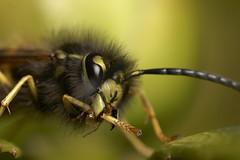 Just pulling my leg, wasp #3 (Lord V) Tags: macro bug insect wasp vulgaris vespula naturesfinest specanimal animalkingdomelite specanimalphotooftheday specinsect
