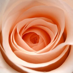Blooming peachy (cattycamehome) Tags: flowers flower macro nature beauty rose tag3 taggedout hope petals bravo tag2 all tag1 blossom quote centre  peach whirlpool rights bloom reserved peachy excellence ladybirdjohnson catherineingram peachesandcream december2006 outstandingshots gtaggroup goddaym1 missedthetag abigfave cattycamehome firstfave allrightsreserved