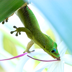 Reach (konaboy) Tags: flower green tongue closeup backlight dessert leaf hanging gecko reach madagascar spiderlily 36087b ilovedthisone