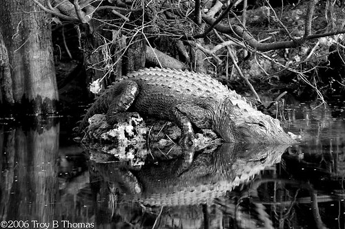 20061213_EvergladesGator