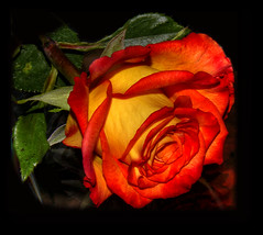 The Color of the Rose (dragonseye) Tags: flower rose excellence cotcmostfavorited outstandingshots 25faves dragnoseye queenrose awesomeblossoms