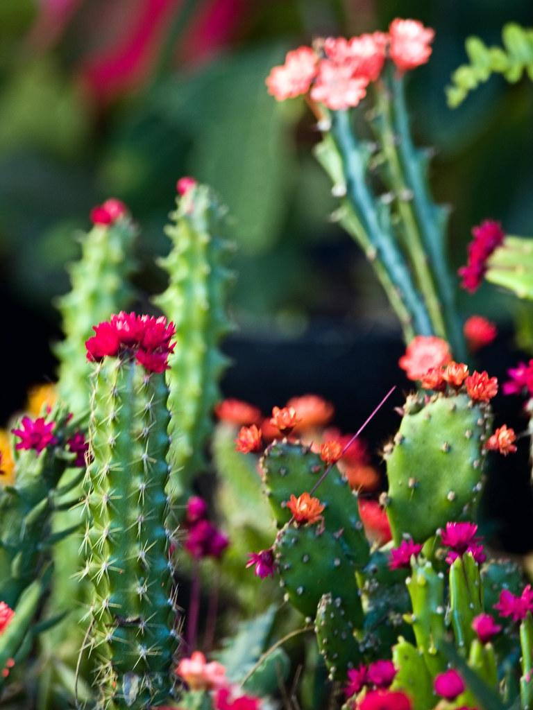 Cacti Flowers 2