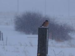 Kestrel in a blizzard (lostinfog) Tags: snow bird colorado december 2006 e300 blizzard amer