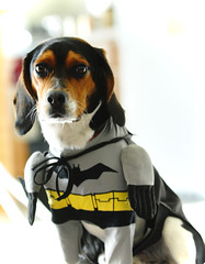 I am Batmax (silent7seven) Tags: dog max beagle costume hero batman capedcrusader climbestrees andrewhahn